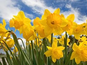 sunny_daffodils